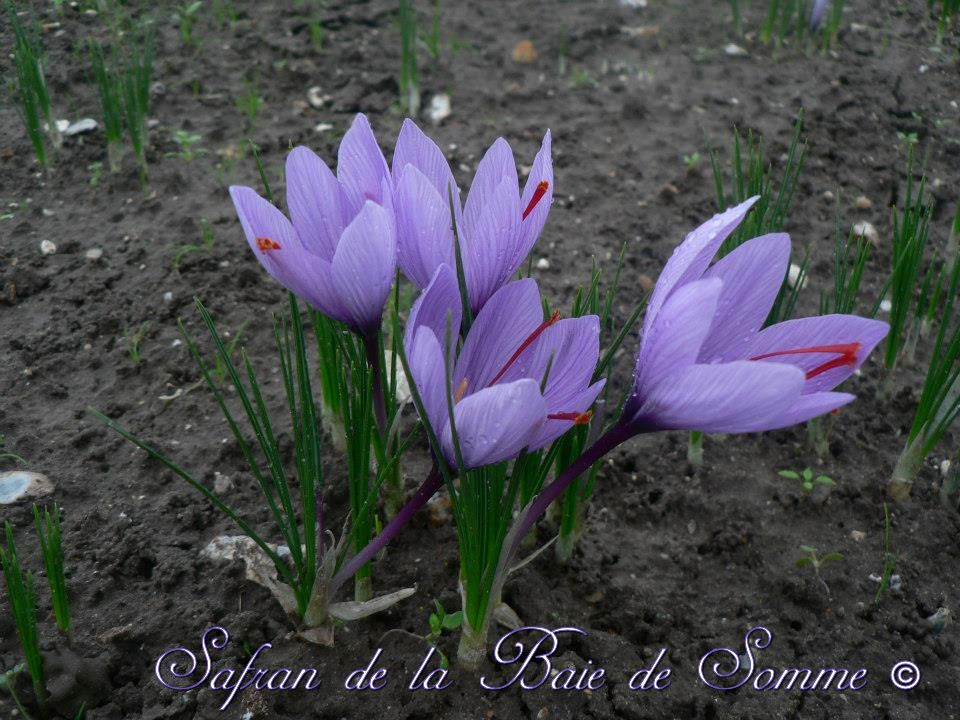 Adhérent SAFRAN DE LA BAIE DE SOMME - photo #5384
